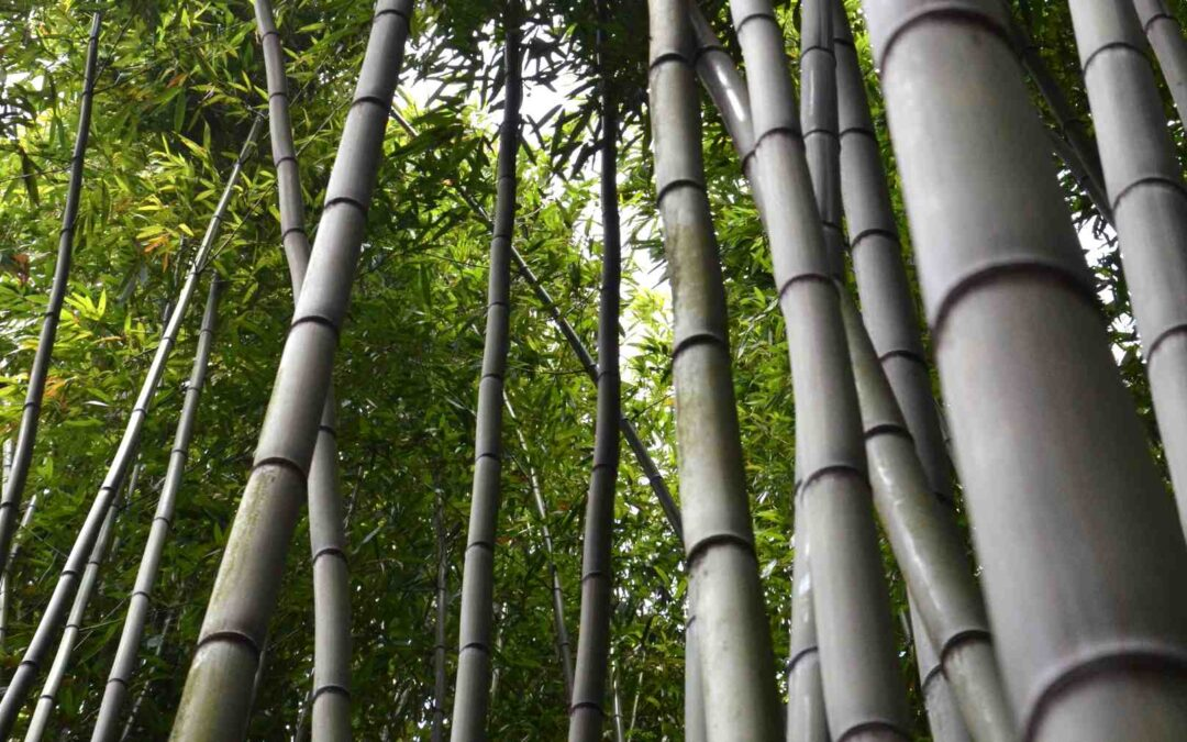 Giant Bamboo: Massive grasses