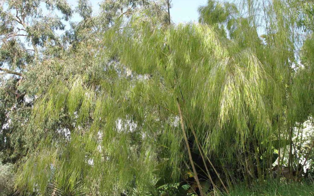 Genus Otatea: Mexican Weeping Bamboo