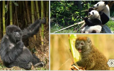 Bamboo, Pandas and Endangered Species