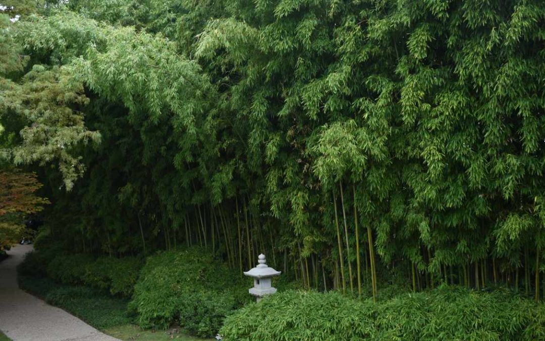 Bamboo for Japanese Gardens
