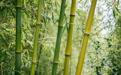 Bamboo and the Great Green Wall: Desert and mud rain