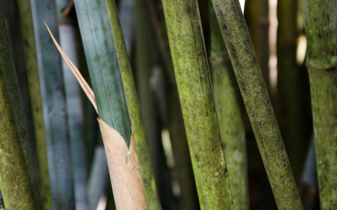 Genus Himalayacalamus: Clumping bamboo of the mountains