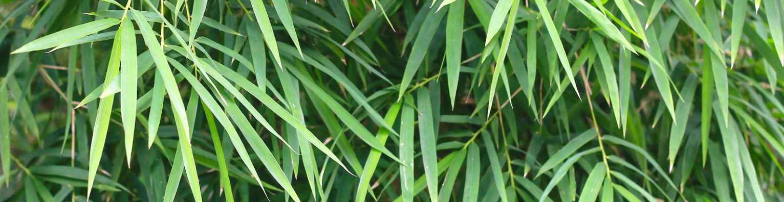 Mexican weeping bamboo foliage