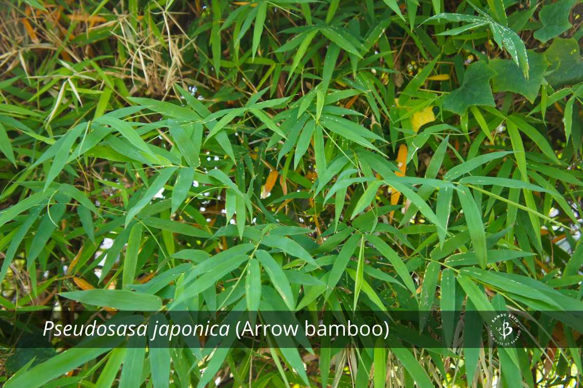 Pseudosasa japonica bamboo species