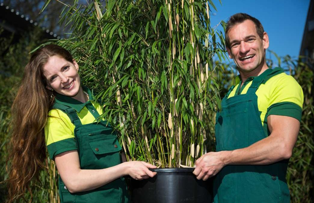 Repotting your bamboo: Transplants and divisions