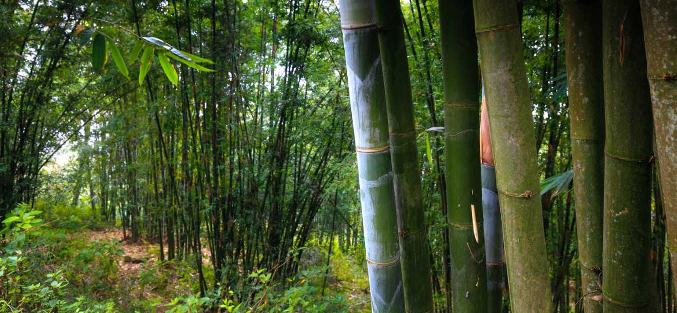 Tropical clumping bamboo groves