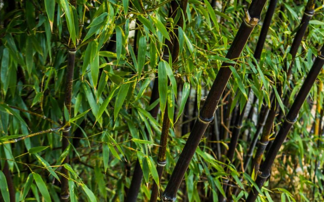Black Bamboo: Phyllostachys nigra and others