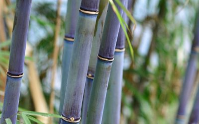 Blue Bamboo: Species that stand out