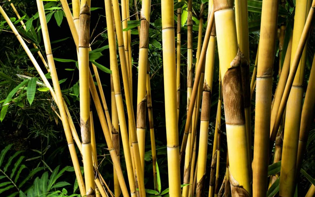 10 More clumping bamboo species