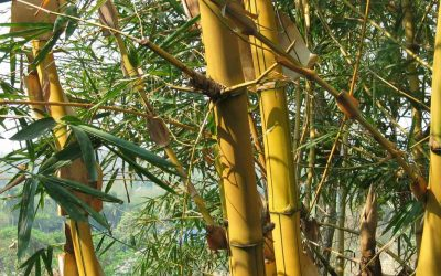 Golden Bamboo: Phyllostachys aurea and others