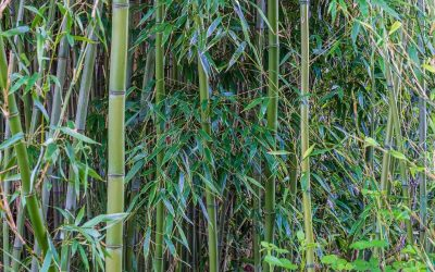 Temperate timber bamboo for cool climates