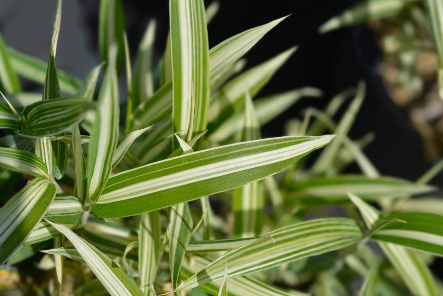 9 Best bamboo species to place in a pot