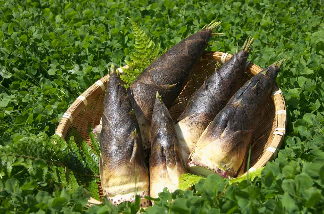Harvest bamboo shoots to eat