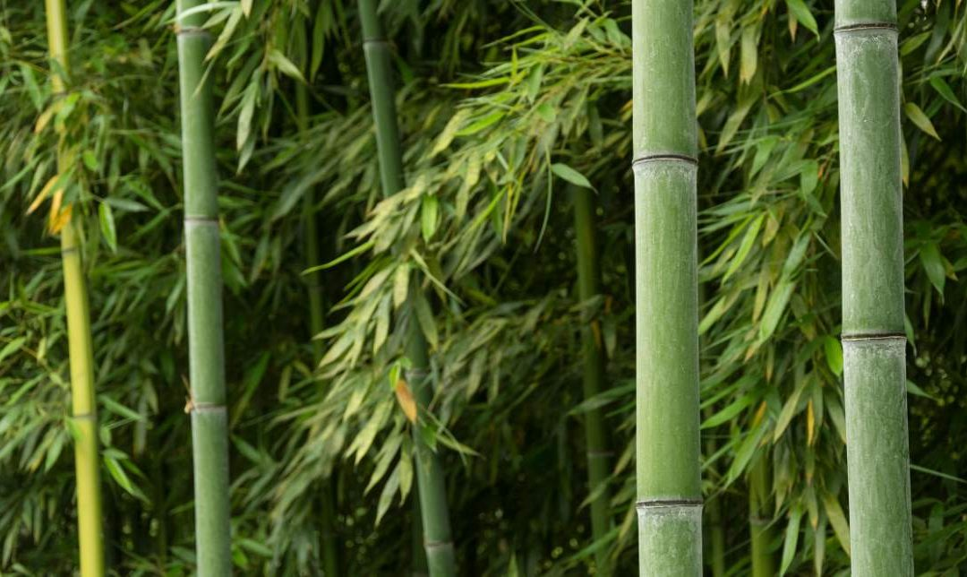 Best bamboo species for farming: Cultivating allies