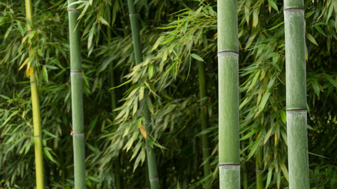 Best species for bamboo farming