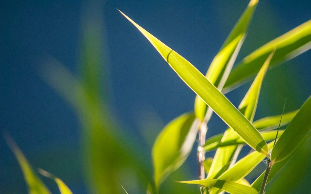 Drought Tolerant Bamboo