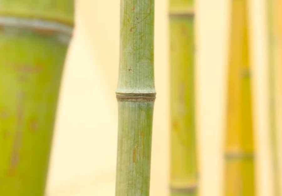 Is bamboo lucky?