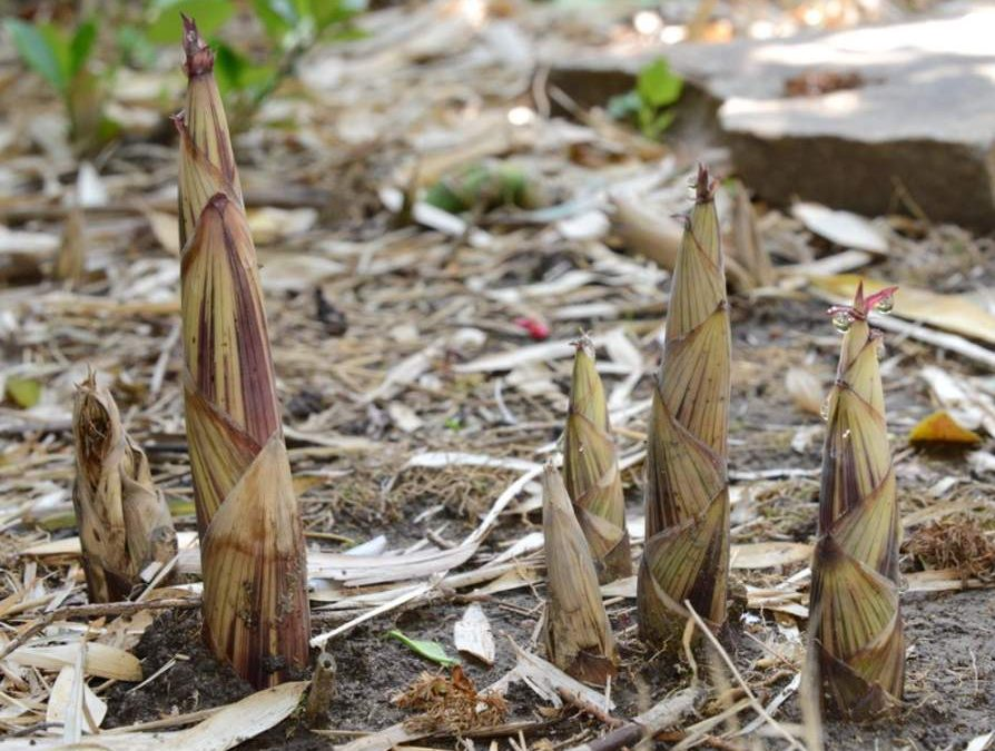 Shoot to kill: Are bamboo shoots poisonous?
