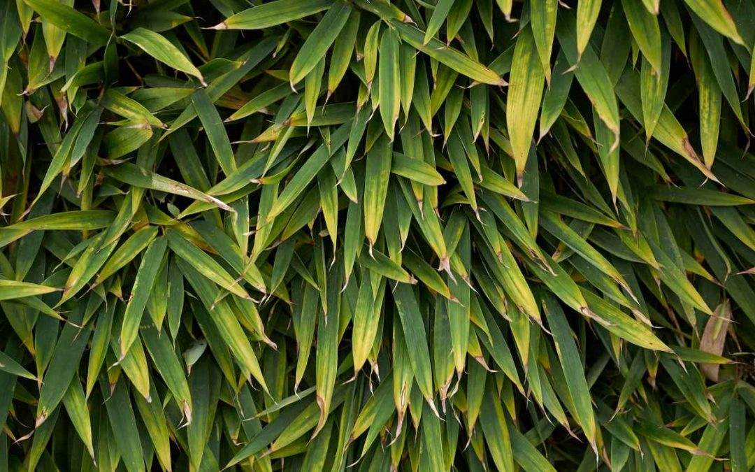 When bamboo leaves turn yellow or brown