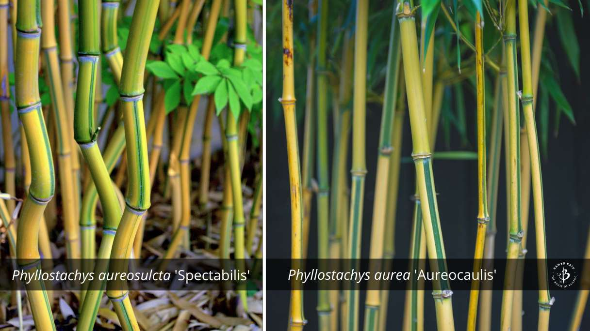 Phyllostachys bamboo species identification