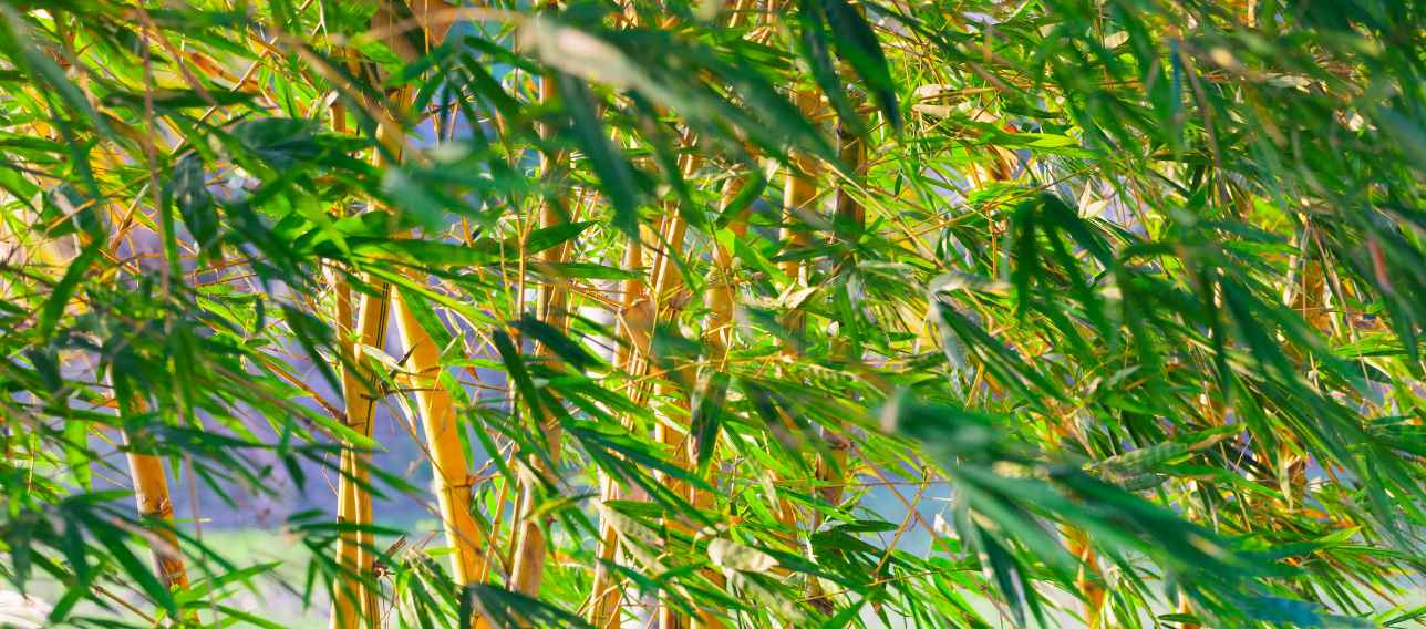 Bamboo blowing in the wind