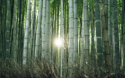 Asian bamboo plantations: The next palm oil?