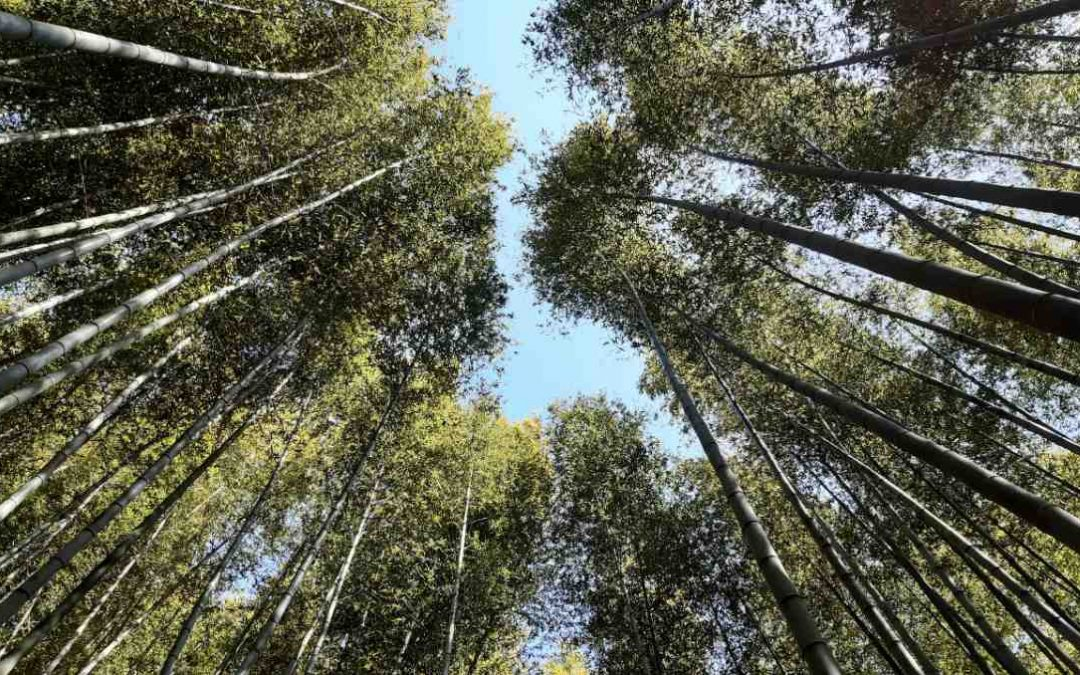 Is bamboo invasive or just expansive?