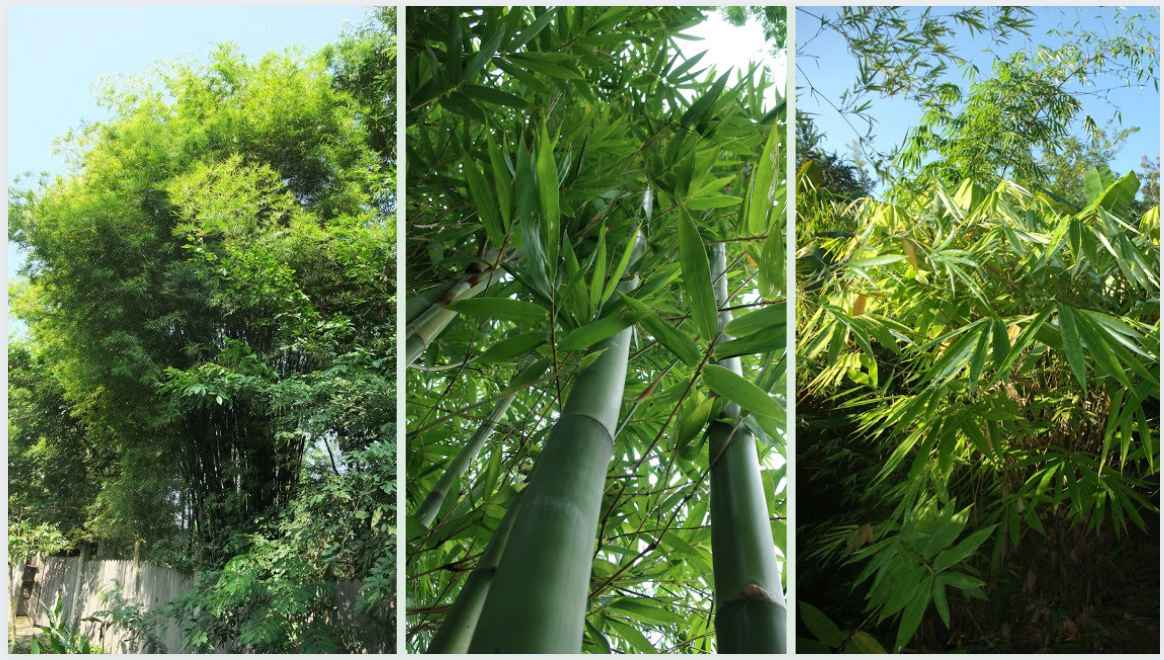 Native Bamboo in Thailand