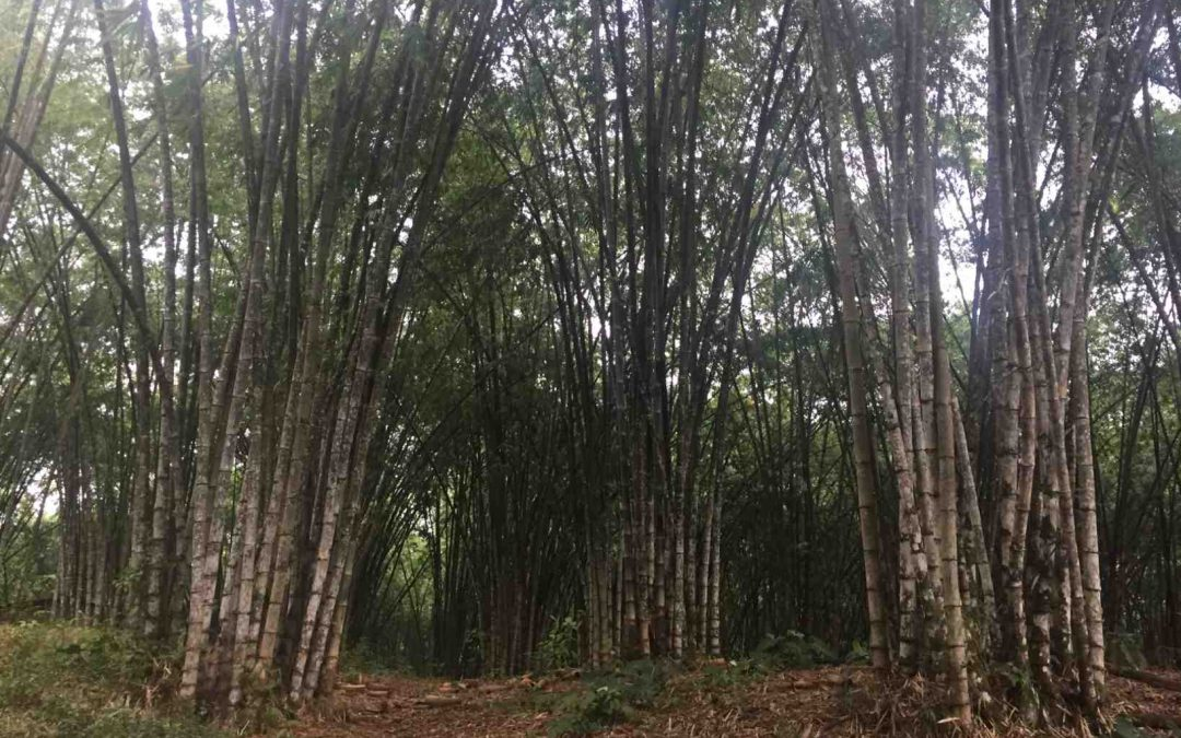 Bamboo in Ecuador: Challenges and Opportunities