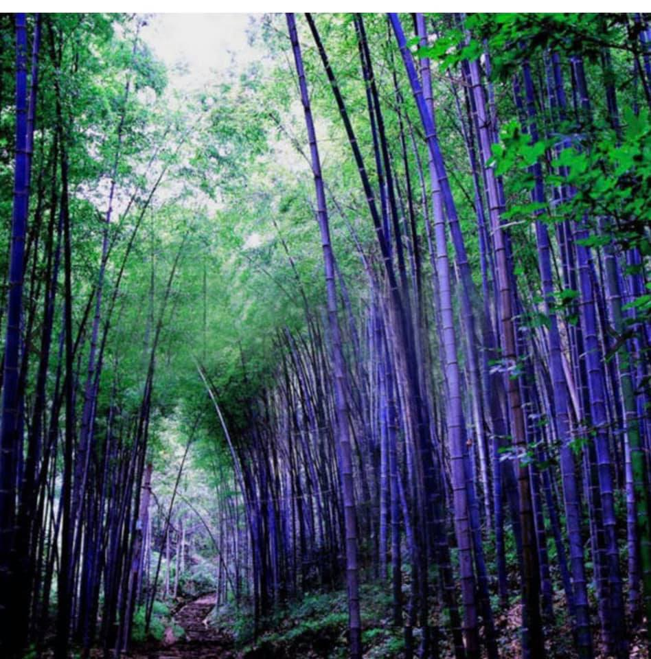 Purple Bamboo is a hoax