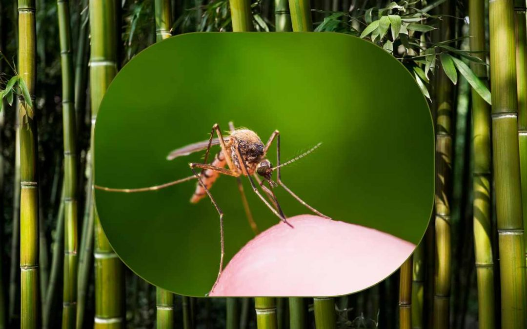 Bamboo Malaria and Climate Change