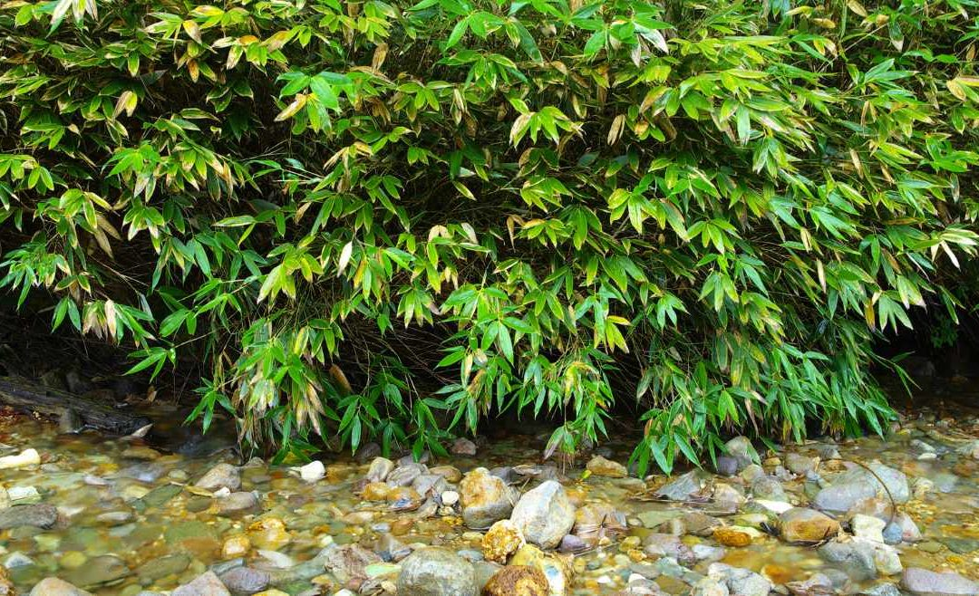 Bamboo for water purification