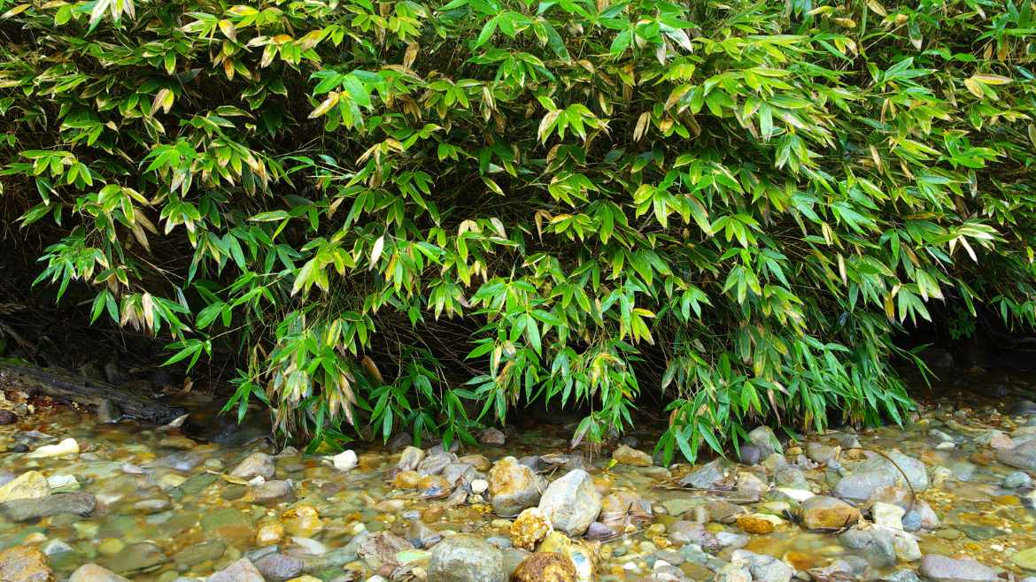 Bamboo and water purification